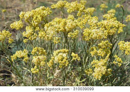 Alyssum Gymnopodum, Brassicaceae, Alyssum Cretaceum Is Very Beautiful Medicinal Plant With Delicate
