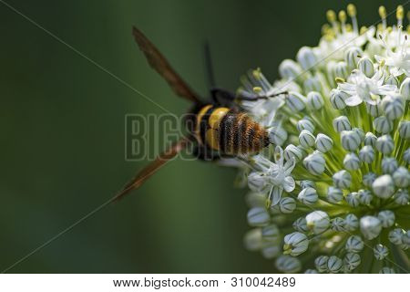 Scola Lat. Megascolia Maculata Lat. Scolia Maculata Is A Species Of Large Wasps From The Family Of S