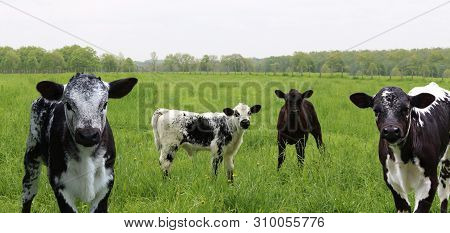 Herd With Group Of Black, Grey, And White Mottled Speckled Roan Calves Standing In The Field