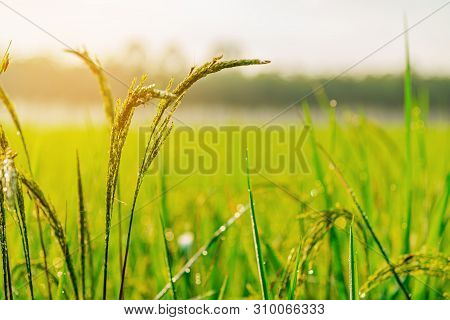 Rice Plant With Sunrise Or Sunset And Flare Over The Sun In Moning Light