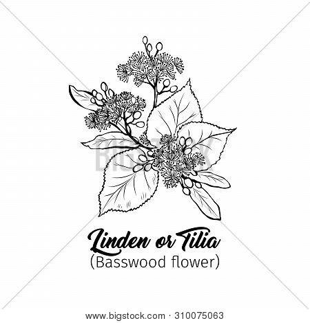 Linden Flowers Freehand Vector Illustration. Tilia, Basswood, Honey Plant Black And White Sketch. Ar