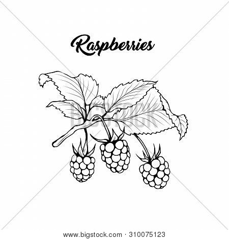 Raspberry Branch Black And White Vector Illustration. Aromatic Berries On Twig Engraved Drawing. Jui