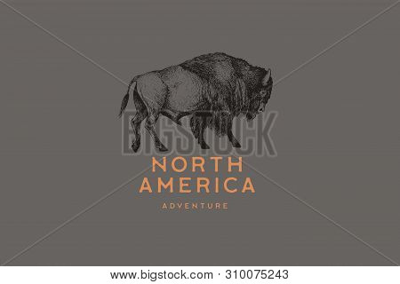 Hand Drawing Of American Bison In Retro Engraving Style. Buffalo In Graphic Vintage Style. Vector Lo