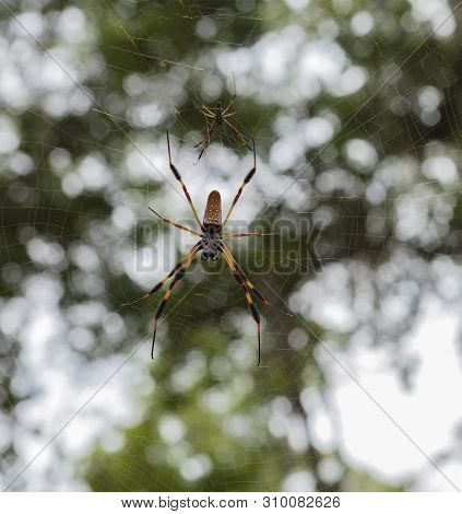 Banana Spiders In Web At A Florida Park