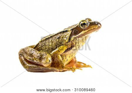 Common Brown Frog (rana Temporaria) Sideview And Looking In The Camera On White Background