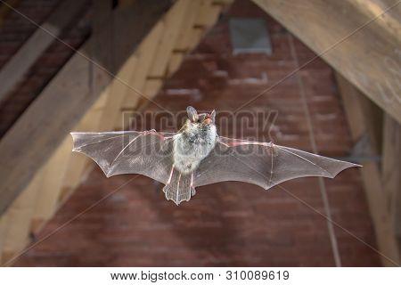 Natters Bat Flying Inside Building