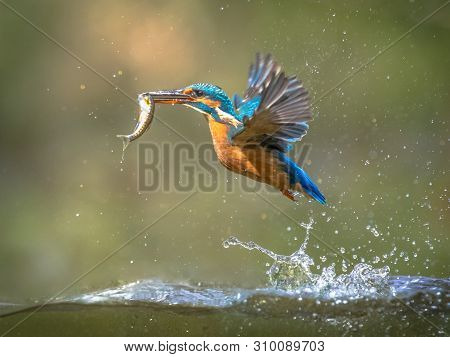 Common European Kingfisher (alcedo Atthis).  River Kingfisher Flying After Emerging From Water With