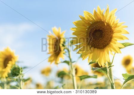 Sunflower Close Up. Backdrop Of The Beautiful Sunflowers Field. Bright Sunflower Field Over Cloudy B
