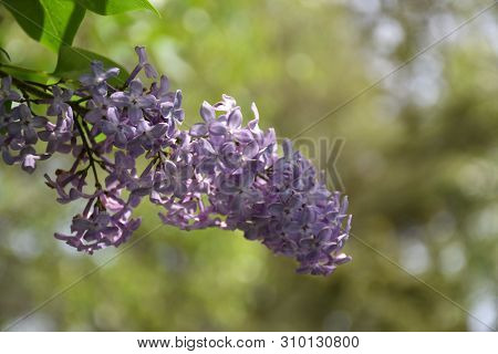 Blossom Lilac Close Up By A Natural Blurred Background