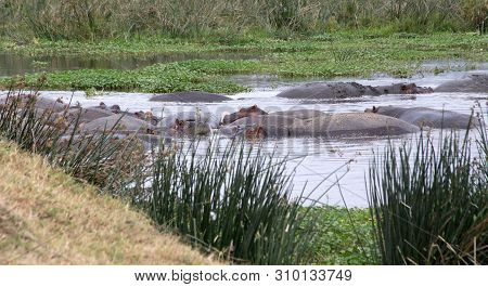 Hippopotamus of Tanzania near a muddy waterhole. Ngorongoro Creater Tanzania. poster