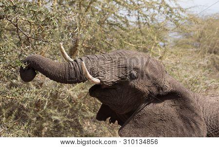 Elephants (Loxodonta africana) eating in the plains of Ngorongoro Crater, Tanzania. poster