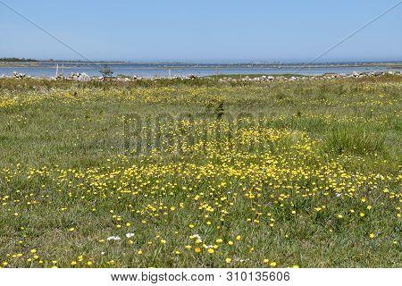 Beautiful Open Coastland With Blossom Yellow Flowers At The Swedish Island Oland