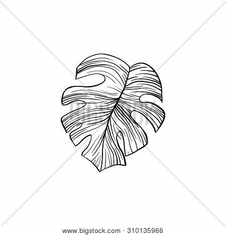 Silver Cloud Plant Hand Drawn Illustration. Houseplant Split Leaf Line Art Drawing. Philodendron, Mo