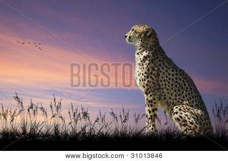 African safari concept image of cheetah looking out over savannah with beautiful sunset sky poster