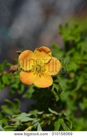 Shrubby Cinquefoil Red Ace - Latin Name - Potentilla Fruticosa Red Ace