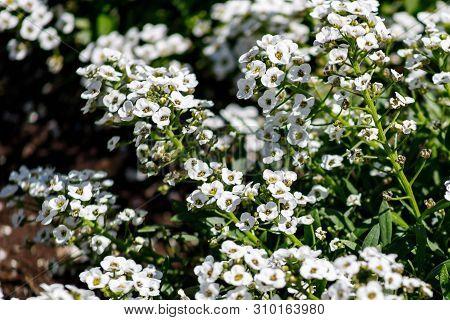 Close-up Of White Flowers Lobularia Maritima Syn. Alyssum Maritimum, Common Name Sweet Alyssum Or Sw