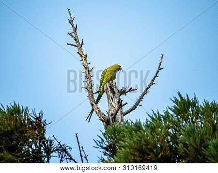 A Rose-ringed Parakeet Roosts In The Top Of A Japanese Cedar Tree. Descended From Escaped Pets, Thes