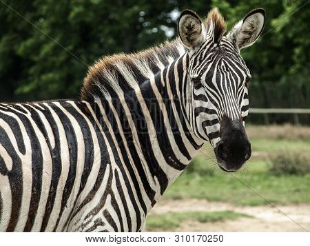 Close Up View Of Beautiful African Zebra  (african Equids)  Looking Behind, With Blurred Background.