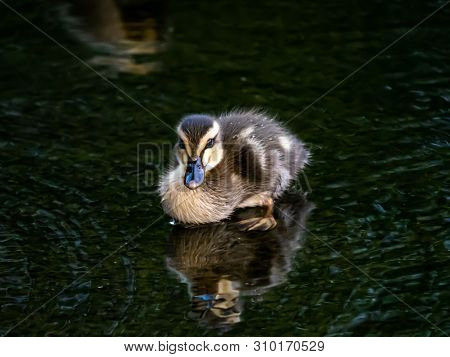 An Eastern Spot-billed Duckling, Anas Zonorhyncha, Waddles Through The Shallows Of A Water Feature I