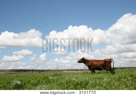 Cows In Summer Landscape