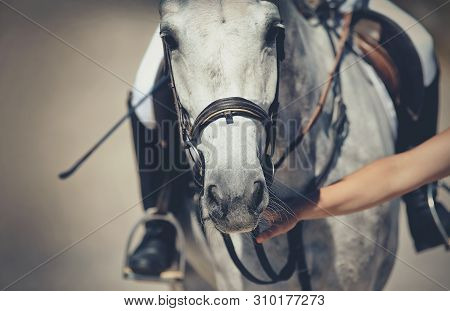 Nose Sports Gray Horse In The Bridle. Dressage Horse. Equestrian Sport.
