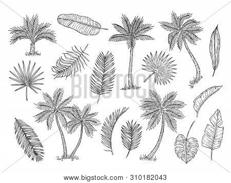 Sketch Palm Tree. Tropical Rain Forest Trees And Exotic Palm Leaves Vintage Hand Drawing Vector Isol