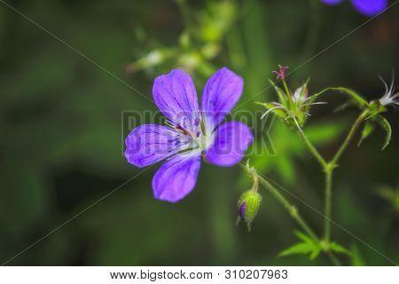 Wood Cranesbill, Woodland Geranium, Geranium Sylvaticum. Forest Geranium.