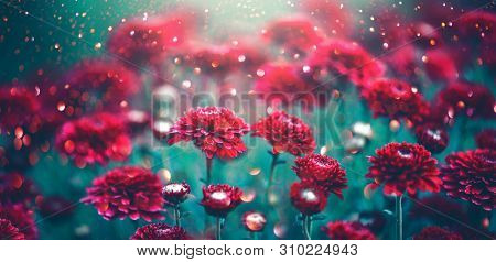 Chrysanthemum violet flowers blooming in a garden. Beauty autumn flowers art design. Bright vivid colors. Nature background. Autumn Backdrop, fall