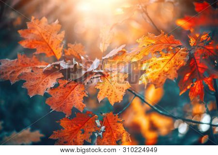 poster of Autumn colorful bright Leaves swinging in a tree in autumnal Park. Autumn colorful background, fall backdrop. Backlit, sun flare. Beautiful nature scene
