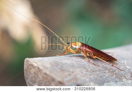 Cockroach On Wooden, Nature Blurred Background. Space For Text Input Or Advertising Work For The Coc