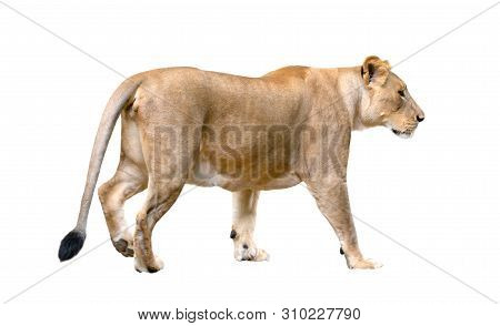 Female Lion Walking Isolated On White Background