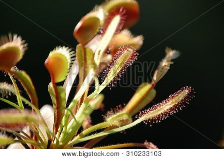 Drosera Capensis Red Form Sundew With Black Background
