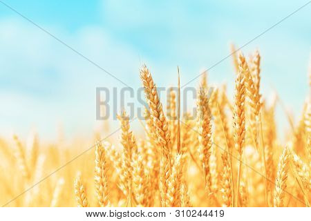 Autumn Landscape Of Wheat Field. Beautiful Ripe Organic Ears Of Wheat During Harvest Against Blue Sk