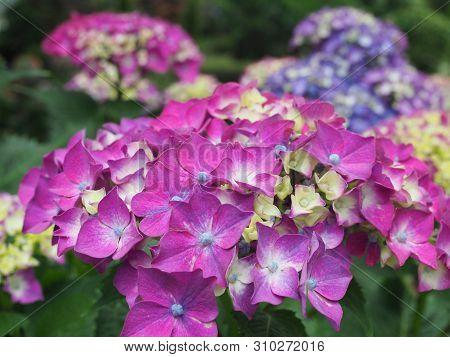 Hydrangea Flowers Bush. Purple Hydrangea. Home Garden Of Hydrangea. Beautiful Blooming Of Macrophyll