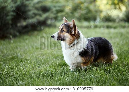Beautiful And Adorable Welsh Corgi Dog Walks At The Park.