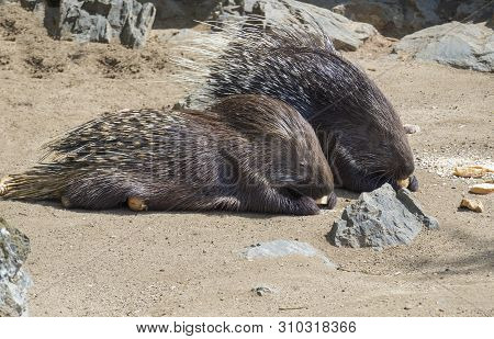 Close Up Portrait Of Indian Crested Porcupine, Hystrix Indica Couple Eating Vegetables And Bread, Ou