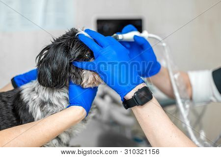A Veterinarian Does An Ultrasound Of The Dog's Eye In The Office. Assistant Helps Keep The Dog When