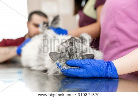 A Male Veterinarian Anesthesiologist Makes The Procedure For A Cat - A Catheterization Of The Bladde