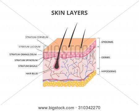 Skin Layers: Epidermis, Dermis, Hypodermis Isometric Vector Illustration