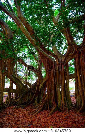 Close Up Of A Beautiful Banyan Tree In Venice At Sunset. Florida, Usa