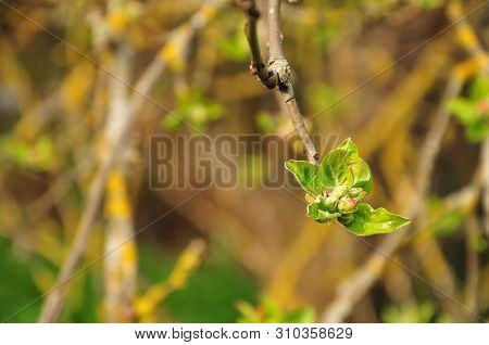 Close-up Of A Pink Bud Of An Apple Tree Surrounded By Hairy Leaves