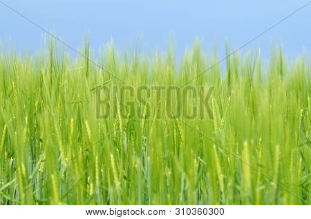 Close-up Of Green Ears Of Barley In Field, Selective Focus