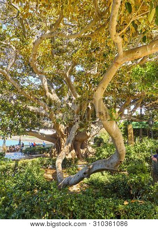 A Ombu Tree (phytolacca Dioica) In The Jardines De Alameda Apodaca Gardens. Cadiz, Andalusia, Spain.