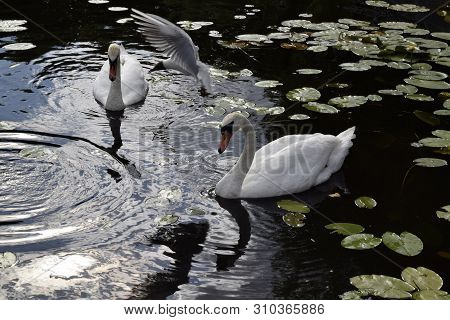 The White Swans Swims On Water. The Seagull Flies.  Natural Landscape Of Belarus And Russia. Wild Na