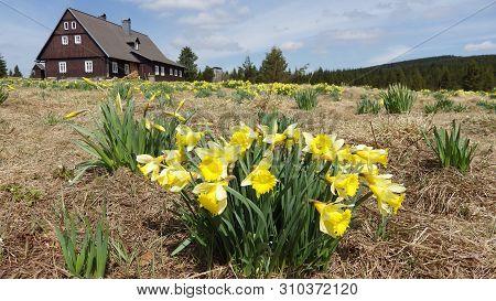 Daffodils On A Meadow In Jizerka Village