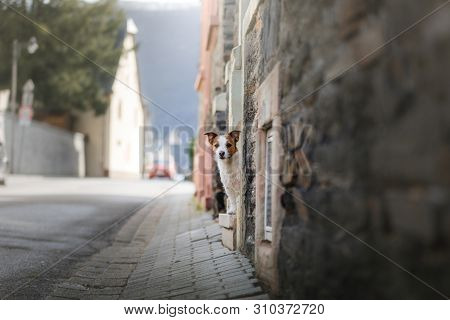 Dog Jack Russell Terrier Stands Against The Wall In The Old Town. Walk With Your Pet, Travel