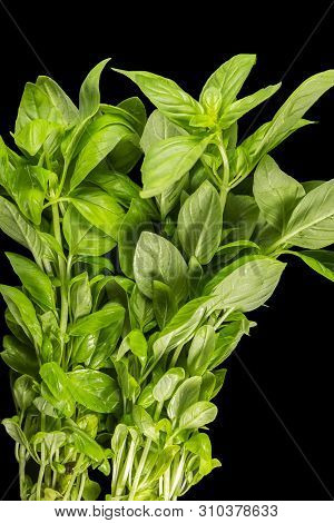 Basil (ocimum Basilicum), Also Called Sweet Basil Or Genovese Basil, Is A Culinary Herb Of The Famil
