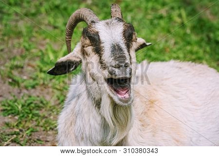 Close-up Portrait Of A Laughing Goat With Horns