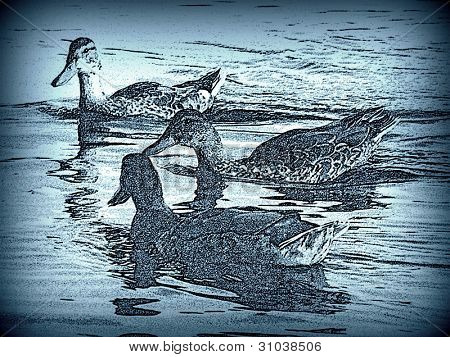 Three ducks in a pond pencil enhanced
