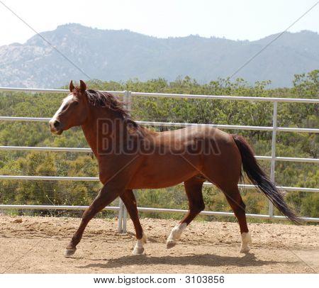 Chestnut Horse